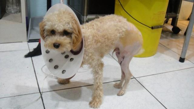 膝蓋骨脫位是結構上所造成的問題,關節營養補充品可以緩解症狀,但是卻不能根治。有這類問題的寵物,小獸醫都會叮嚀主人一定要時常性的監控狗狗走路情況。Laffee的脫位問題是屬於先天性的,脫位不只影響到牠的走路,也讓骨骼的生長變形;倘使不趕快手術處理,是有可能演變成四級,讓情況更難以回復的。