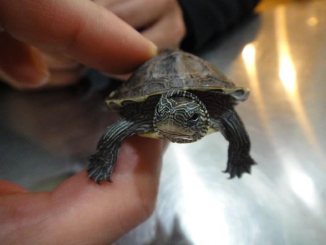 爬行动物 像乌龟 没有外壳 没有尾巴