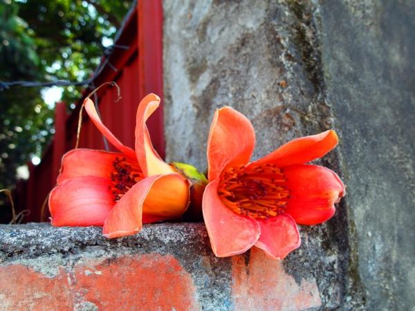 【愛玩耍】<台南北區>木棉道我怎能忘了~那是一年一次的木棉花道