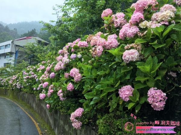 [國內ღ南投] (2Y8M26D)竹山杉林溪5~8月繡球花季─原來這就是所謂花團錦簇,美得不要不要的!