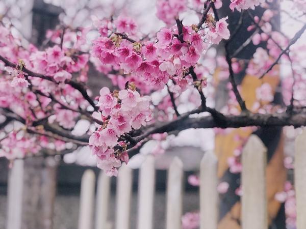 陽明山平菁街42巷櫻花