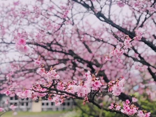 陽明山平菁街櫻花林