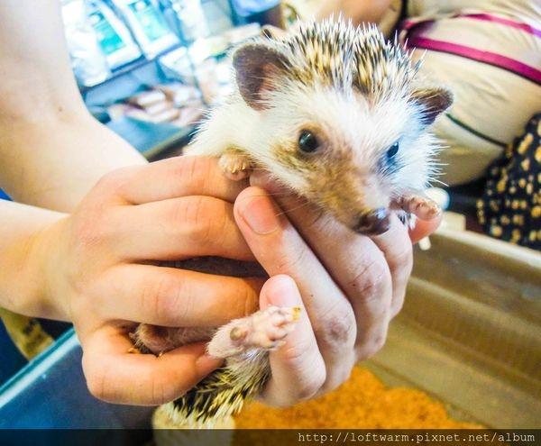 日本六本木刺蝟咖啡廳(影片及路線圖) Harry Hedgehog Cafe 人氣寵物咖啡廳!還有兔子咖啡廳喔!