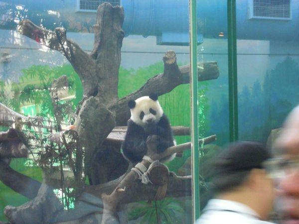 鴨子の台北木柵動物園遊記(中集)~來看熊貓圓仔+圓圓!動物園超好買伴手禮全收錄+來台灣一定要來台北木柵動物園啦( ゚▽゚)
