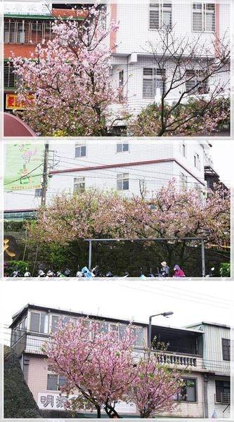 (新北淡水)天元宮賞櫻去~淡粉櫻花大盛開~