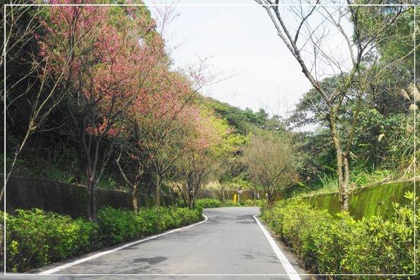 (新北三芝)三芝櫻花季~