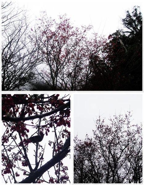 (桃園)拉拉山~被大片神木群圍繞吸吸森林芬多精