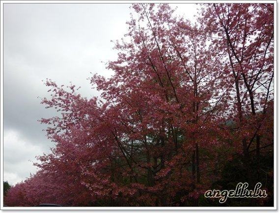 (台中)和平●只有在武陵農場才看得到的紅粉佳人櫻花,真美~~ @ angellulu 愛分享 :: 痞客邦 PIXNET ::