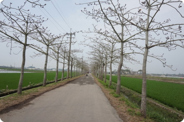 【台南白河】那天的木棉花道 2016.3.16