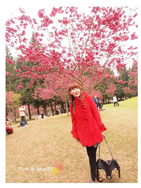 【櫻花】九族文化村,漫天紅櫻在台灣