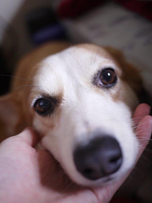 狗狗水汪汪大眼睛