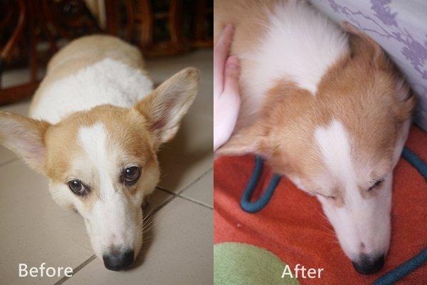 狗狗吃了營養保健品-黃金海寶油後狗毛變化比照圖