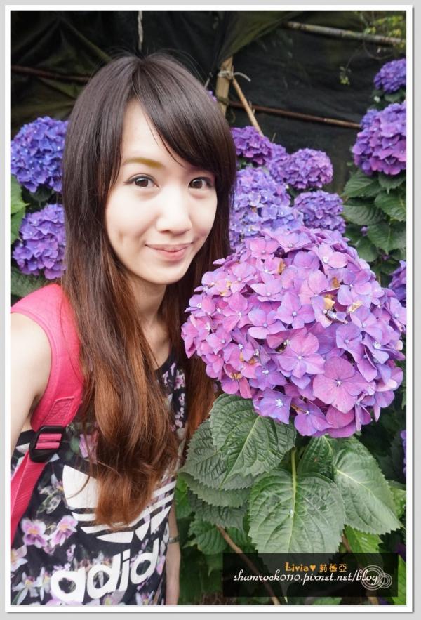 竹子湖繡球花-12