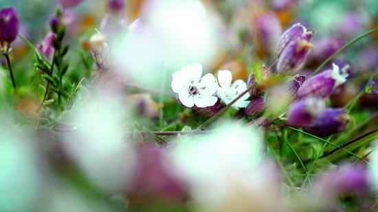 烏埃尚島 (9)_多樣性的生態景色-野生花卉為黑蜂採集花蜜來源.jpg