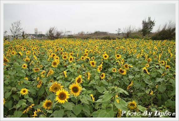 「台中市大甲區 向日葵休閒農場」的圖片搜尋結果