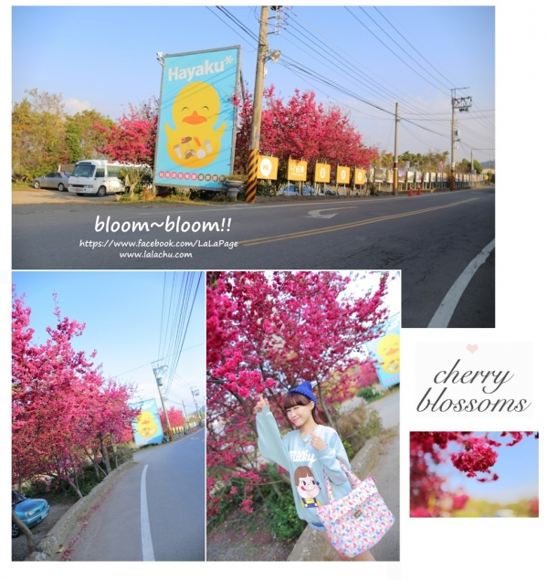 ▋Cherry Blossoms ▋隨處都是風景♥大坑菇神用餐x櫻花小記事