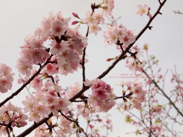 【旅行|台北】陽明山花季*吉野櫻*昭和櫻*海芋