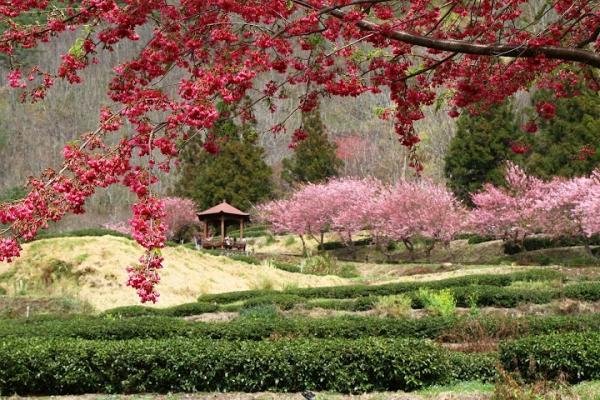 ▋櫻花▋2012武陵農場櫻花季