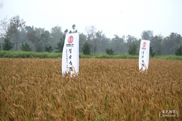 13小麥收割