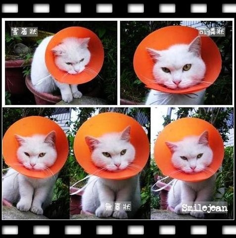 [愛貓]橘子咪咪醬