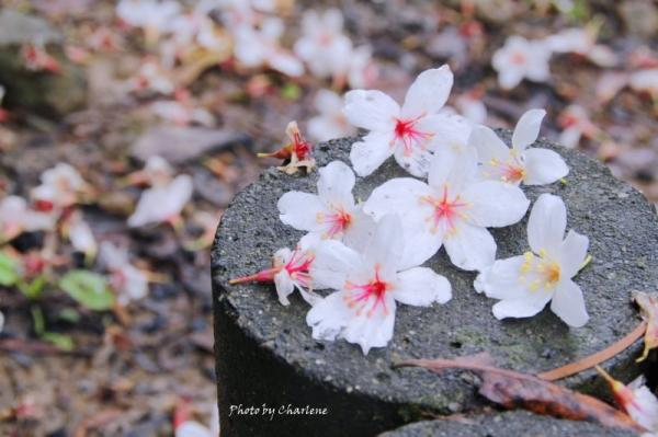 【苗栗三義】mazda5(馬5)大會師&西湖渡假村-五月雪桐花祭