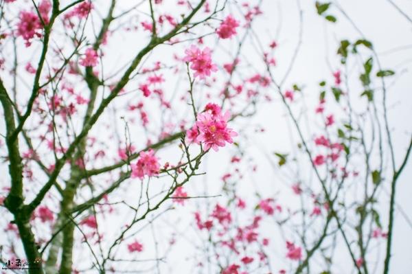 【宜蘭大同】崙埤櫻花公園-崙埤河濱公園~賞花海~大片山櫻花美如畫~賞櫻季可以拍照走走