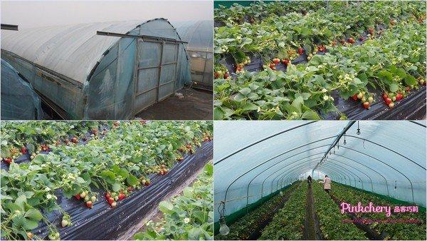 strawberryfarm.jpg