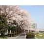 河堤邊的櫻花也是開得很美麗