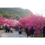 【台中】泰安警察局ღ天阿!!這是在日本嗎?櫻花爆炸開耶!堪稱最美麗的警察局
