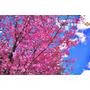 【台中】張張如明信片。宛如北國浪漫風情~2013武陵粉紅佳人ღ武陵農場