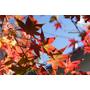 【南投】紅楓&金黃落羽松齊發.奧萬大國家森林遊樂區(12/8花況)