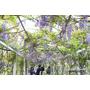 【淡水】如串串垂墜的紫葡萄,夢幻的紫色隧道.紫藤咖啡園(4/6花況)