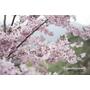 【桃園復興】不同品種的櫻花相繼接棒.櫻木花道(3/1花況)
