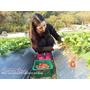 【旅遊】苗栗大湖-「冬季限定」巨大草莓祕境1日遊。