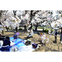 【日本關西名古屋必去必遊】名古屋鶴舞公園賞櫻花~小布妹愛旅行
