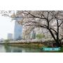 [旅遊] 韓國 2016年首爾石村湖水公園賞櫻花 (樂天樂園及百貨旁) (蠶室站)