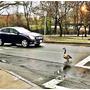 波士頓的鴨子都怎麼過馬路?