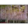 ♥日本自由行♥ 九州- 天拜山武藏寺 半日遊 樹齡超過1300年的「長者之藤」 美美的紫藤花瀑布 ♥