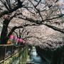 [日本˙東京]終於看到櫻花盛開!第一次東京賞櫻~中目黑目黑川賞櫻實錄
