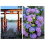 [2018東京]水上的鳥居與轉角盛開的紫陽花 - 箱根.箱根神社