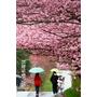 2011武陵農場櫻花季