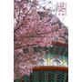 天元宮櫻花季2011