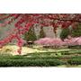 ▋櫻花▋2012武陵櫻花季