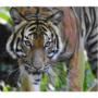 【耶誕快樂∼】亮麗背後的反省∼保育自然生態的孟加拉虎限量耶彩!